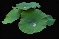 Larmes de lotus