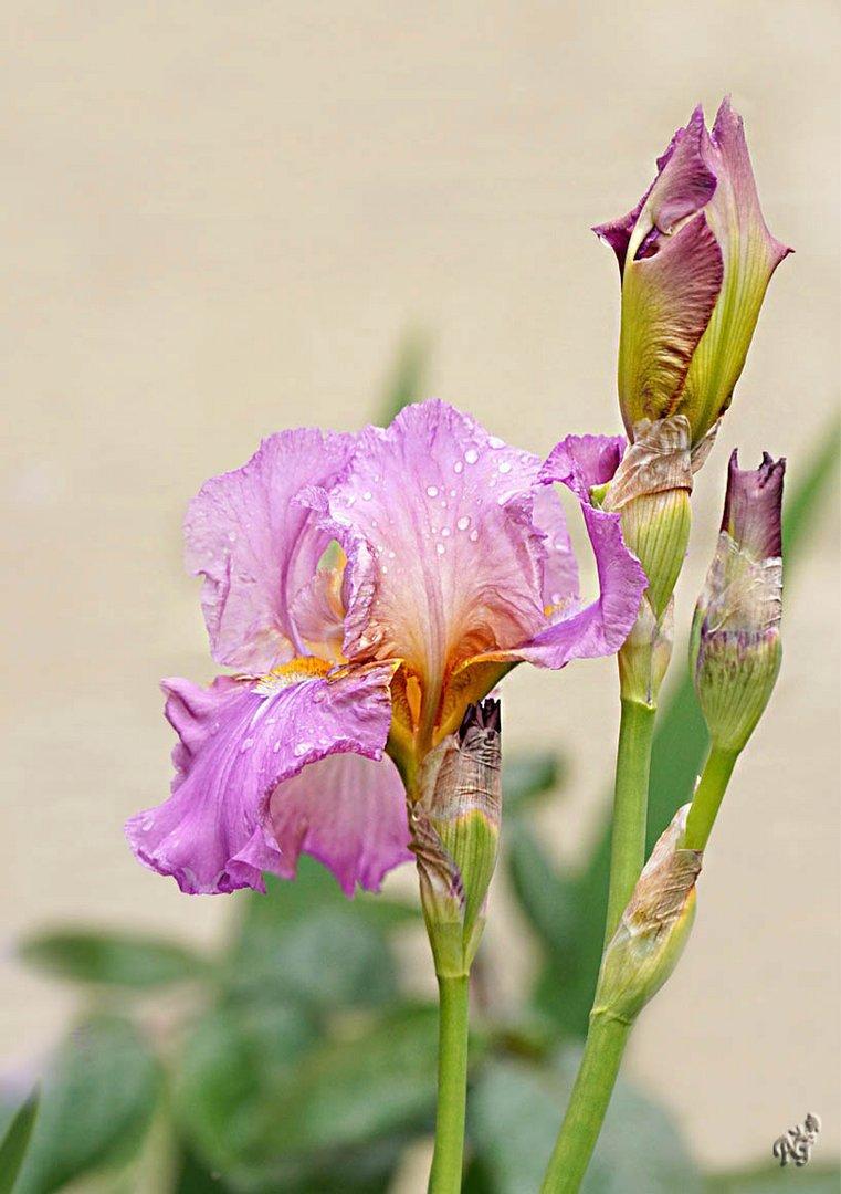 Larmes d'Iris ...
