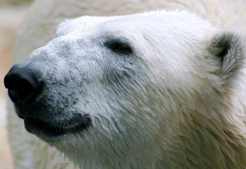 Lars der kleine Eisbär