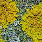 L'art dans la nature!   Die Gelbflechte steht auf der Speisekarte vom Flechtenbär!
