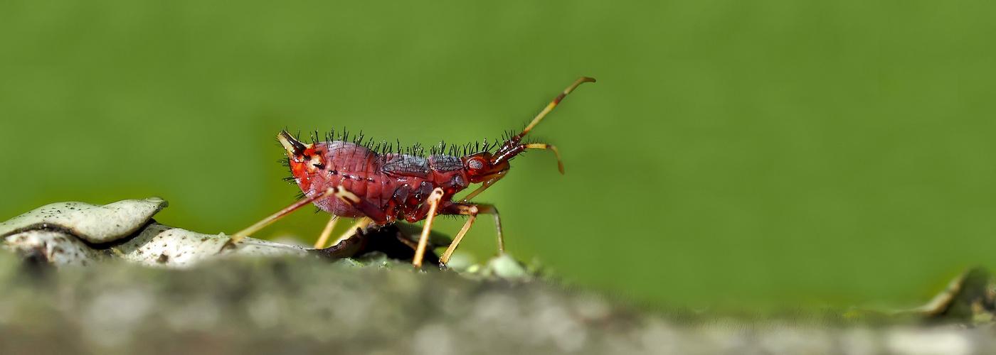 Larve der Roten Weichwanze (Deraeocoris ruber) - Une mini larve de punaise très utile!
