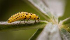 larve des zweiundzwanzigpunkts Marienkaefer
