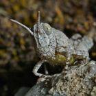 Larve einer Blauflügeligen Ödlandschrecke