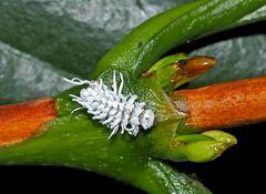 Larve vom Australischen Marienkäfer. - La larve est aussi utile que la coccinelle!