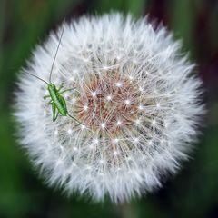 Larve vom Grünen Heupferd (Tettigonia viridissima) fein eingebettet! *