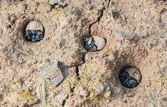 Larven des Feld-, Sandlaufkäfers