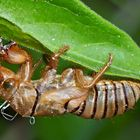 Larvenhülle einer Singzikade (Cicadetta montana) - Cigale des montagnes.