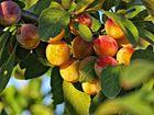 las frutas del otoño