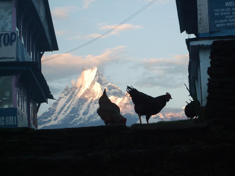 Las Gallinas del Annapurna