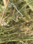 Las libélulas amorosas