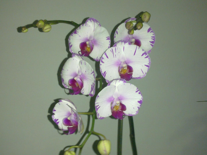 Las Orquideas de Maria de Pinto, ..