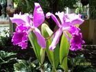 Las Orquideas de Maria de Pinto, Especie= herbácea epífita