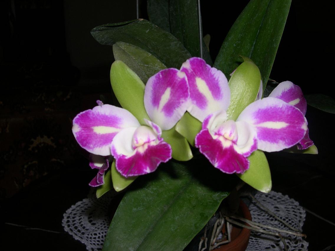 Las Orquideas de Maria de Pinto, Orquídeas Mariposa.