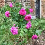 las rosas del cura