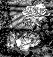 Las rosas en blanco y negro