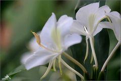 Las Terrazas - Fleur