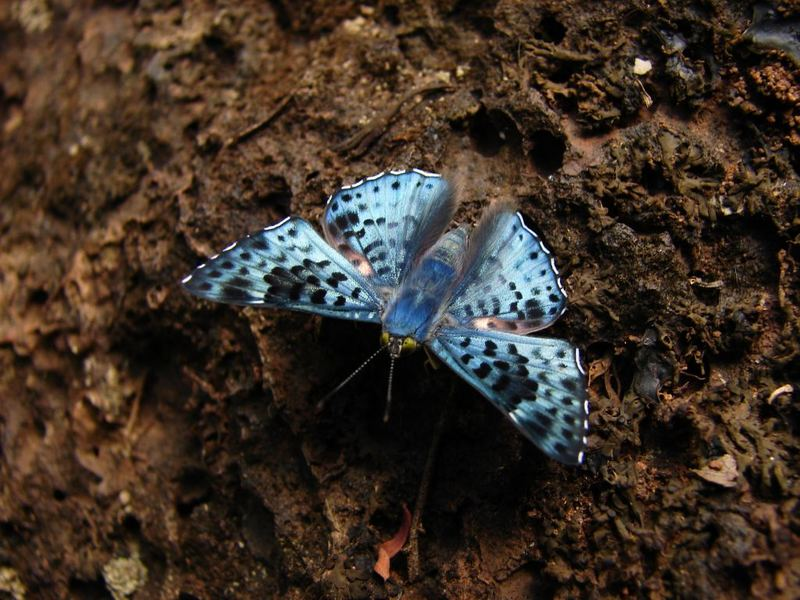 Lasaia agesilas esmeralda - Hový o Azul