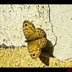 lasiommata megera (femmina)