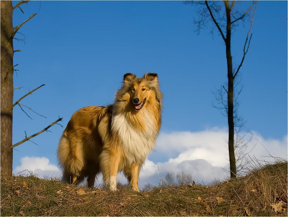 Lassie come home ;) Reload Collie