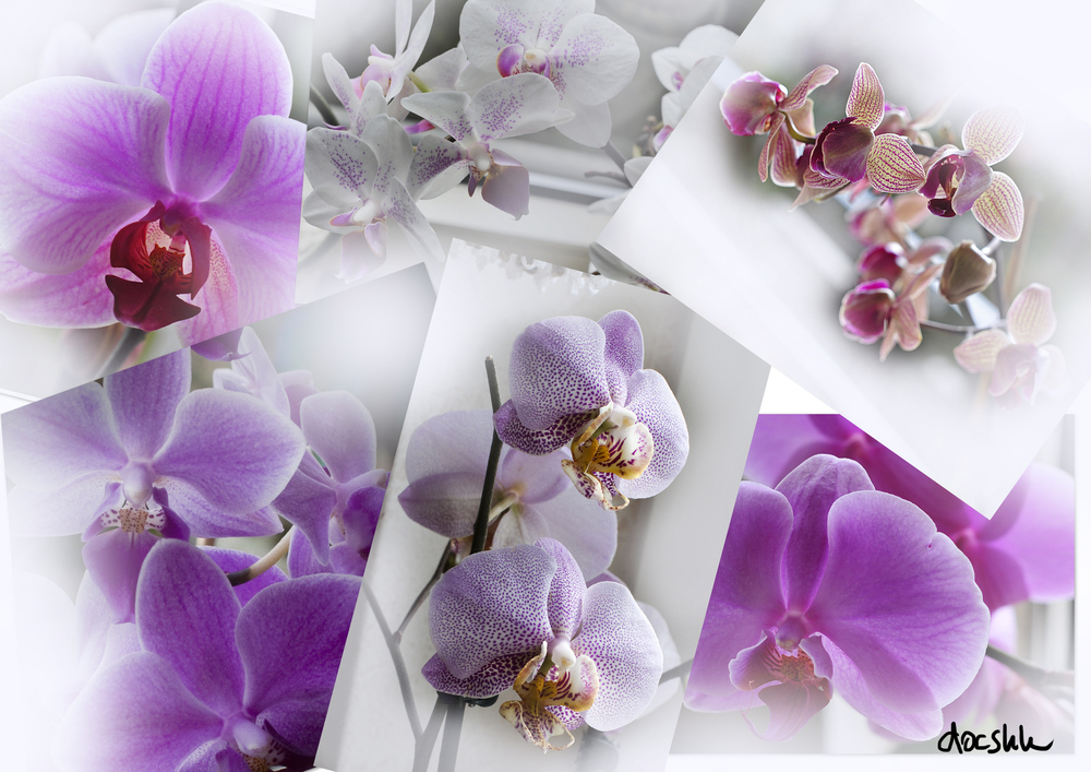 Last Orchidee