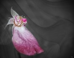 Last petal to fall.
