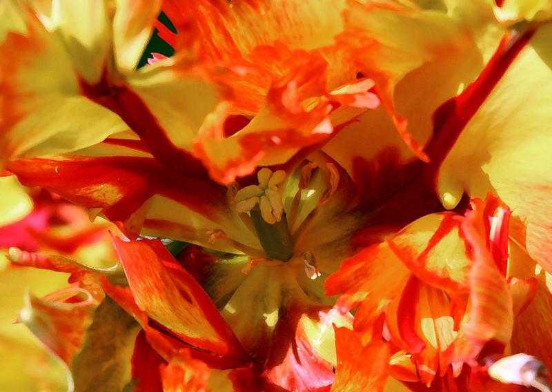 last tulips2