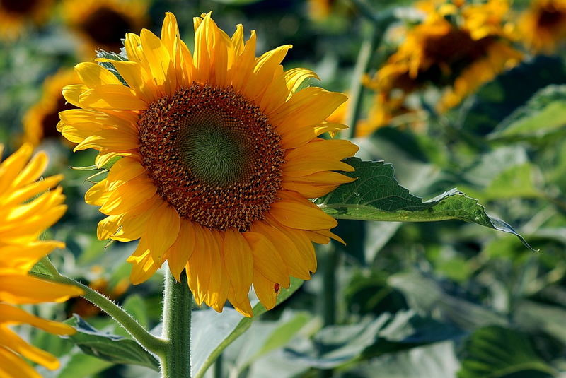 Late Day Sunflower.