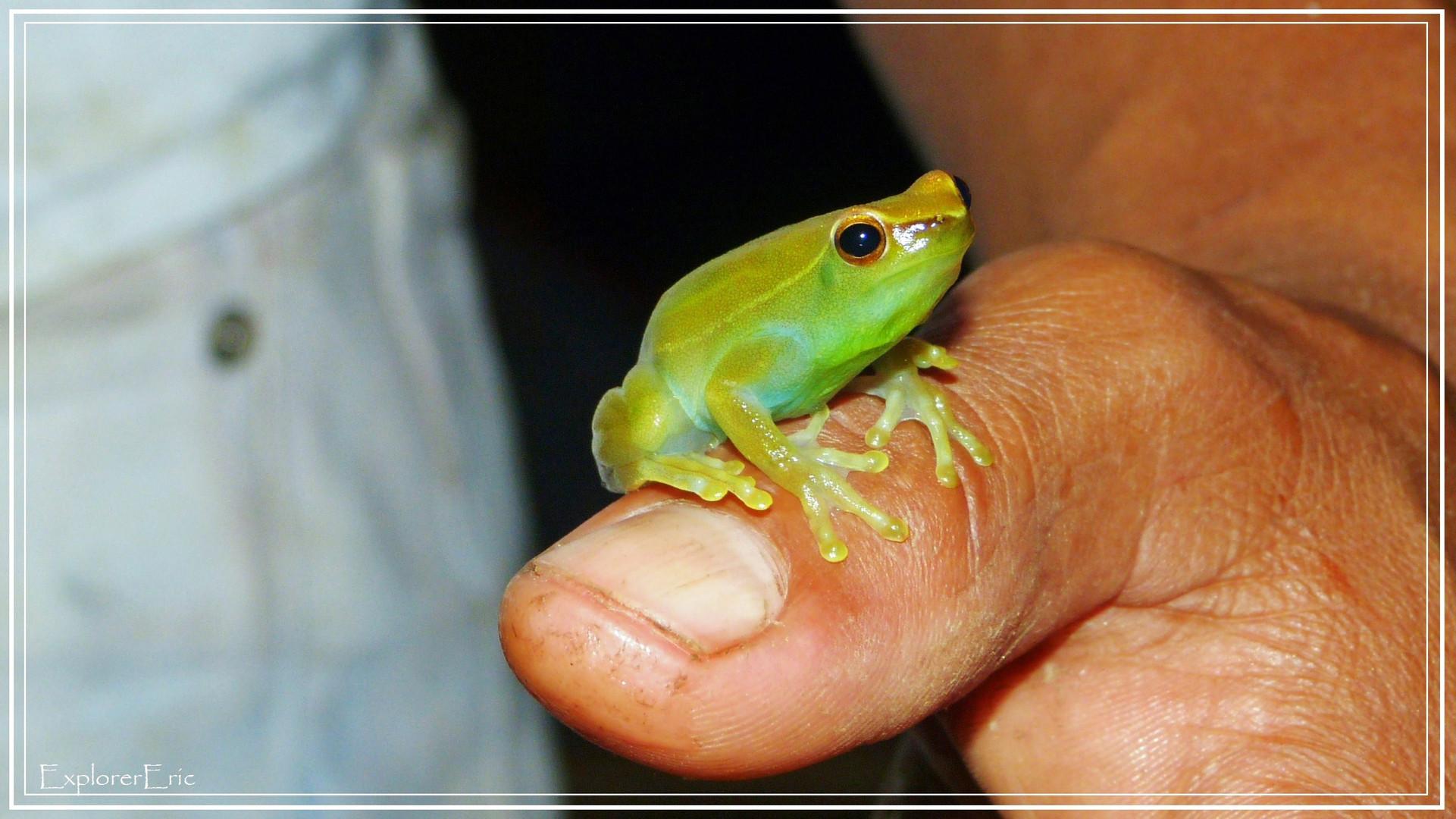 Laubfrosch im Amazonas-Dschungel................