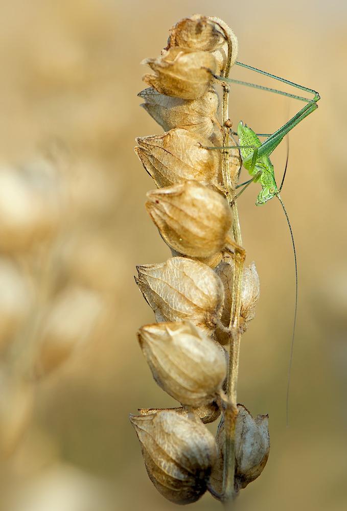 Laubschrecke, Larve, Punktierte Zartschrecke, Weibchen