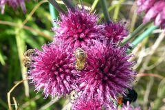 Lauchblüten - Nahrung für Bienen und Hummel