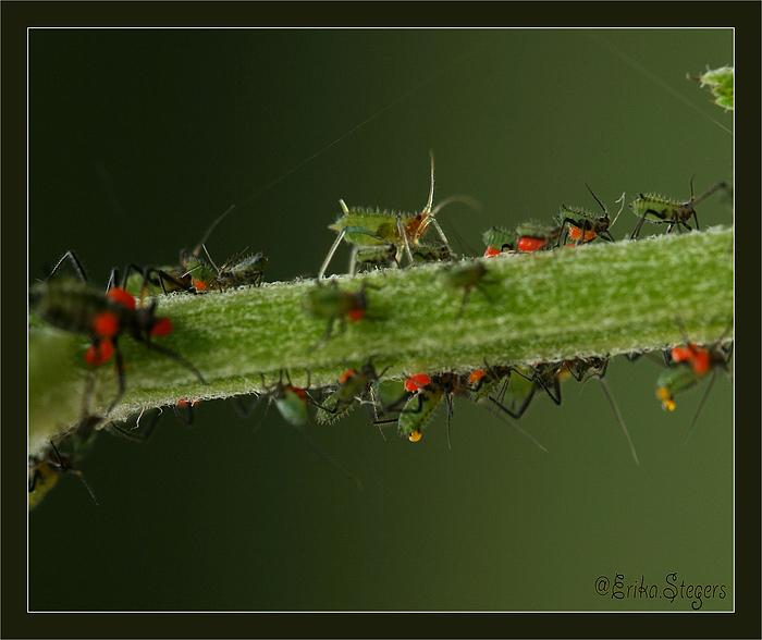 Laufsteg der Blattläuse