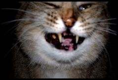 laughing cat...