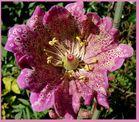Laune der Natur - Fingerhut als offene Blühte