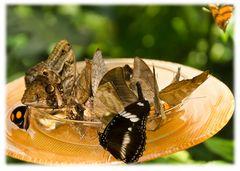 Lauter Schmetterlinge