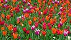 Lauter Tulpen