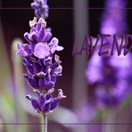 Lavendel...