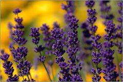 ... Lavendel ...