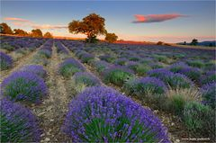 ~ ~ ~ Lavendel ~ ~ ~