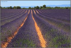 Lavendel 49