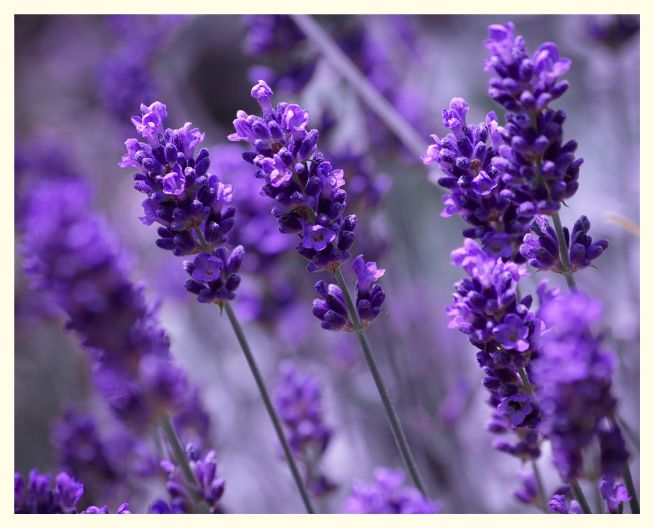 lavendel Foto & Bild | pflanzen, pilze & flechten, blüten ...