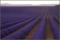 Lavendel 73