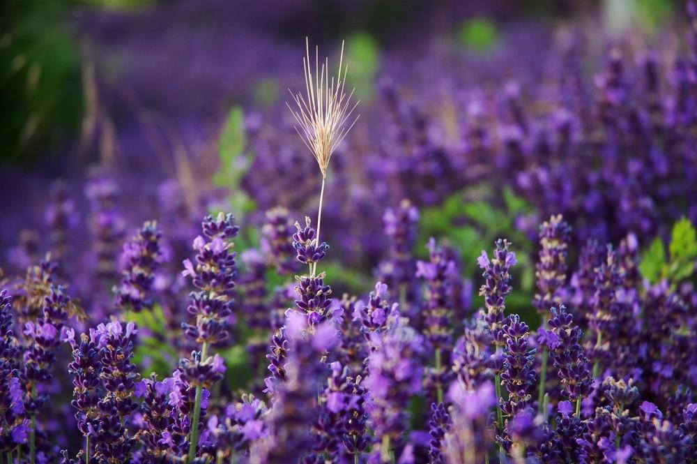 .Lavendel.