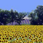 Lavendel am Plateau de Valensole