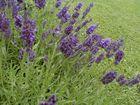 Lavendel am Wiesenrand.