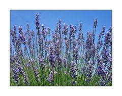 Lavendel auf Zeeland