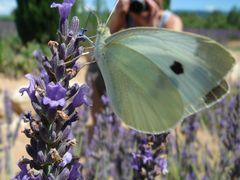 Lavendel, Falter & 2 Fotos ...
