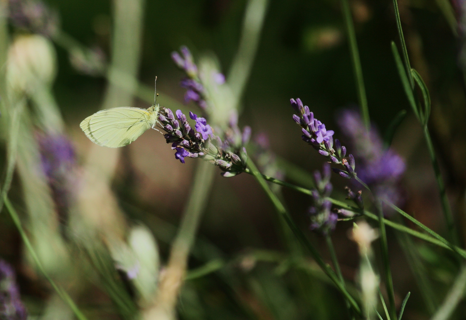 Lavendel. Falter