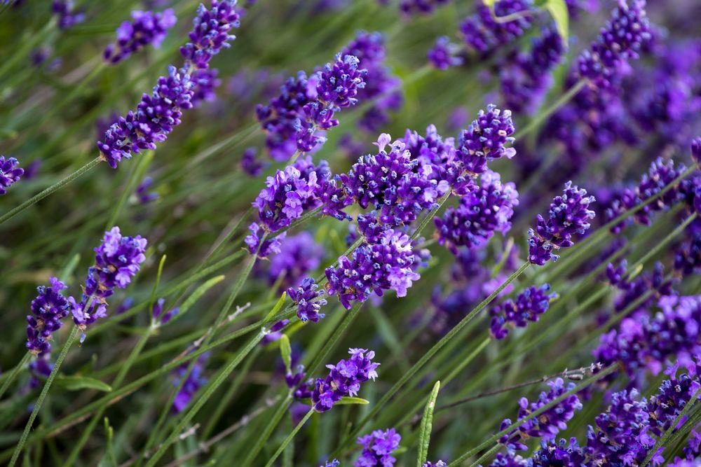 Lavendel - Farbe satt