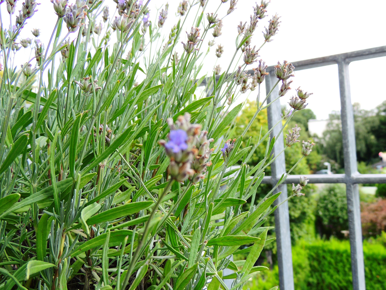 Lavendel- Fokus missglückt