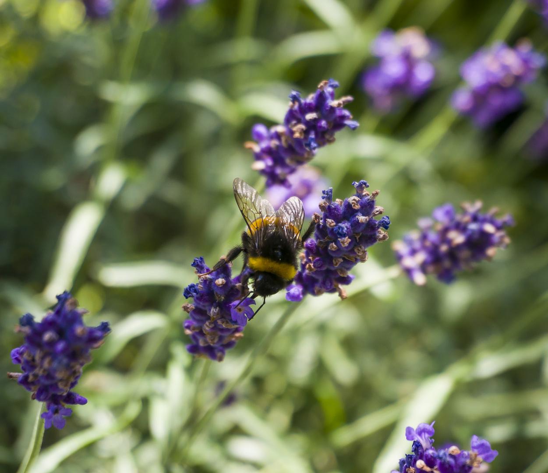 Lavendel Honig Sammelaktion